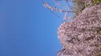 2019.4.9桜2.JPG